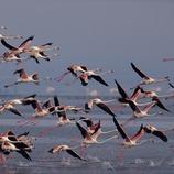 Flamencs al Parc Natural del Delta de l'Ebre