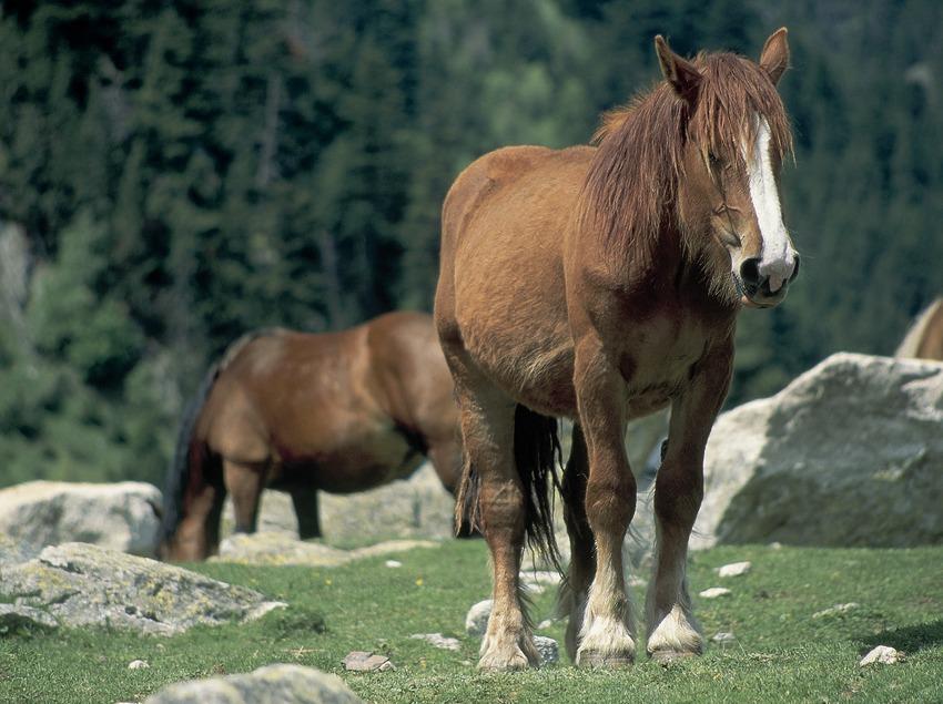 Cavalls en un prat prop d'Espot.  (Servicios Editorials Georama)