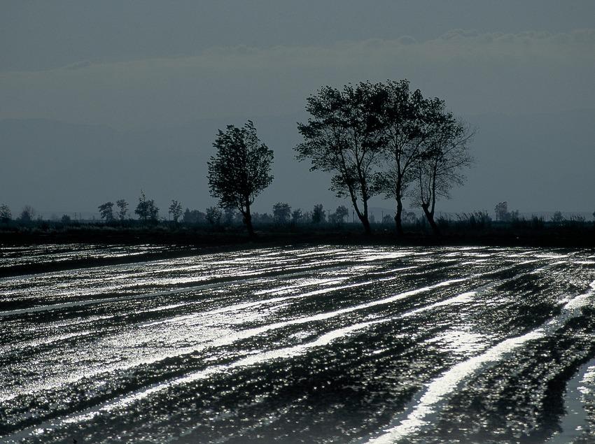 Reisfelder im Delta de l'Ebre.  (Servicios Editorials Georama)