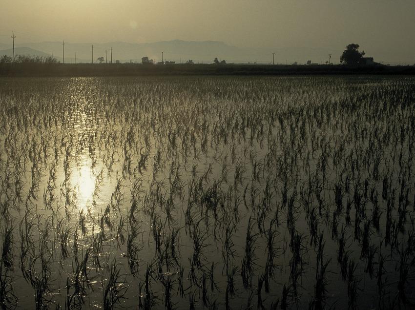Reisfelder im Delta de l'Ebre.