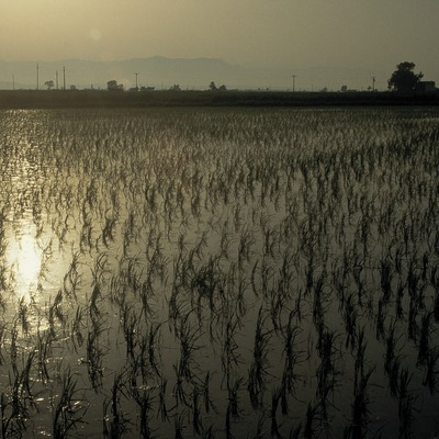 Rice paddies on the Ebro Delta