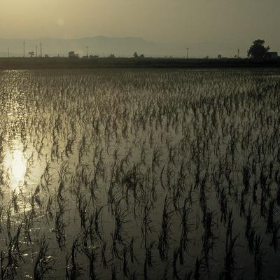 Rizières dans le delta de l'Èbre.