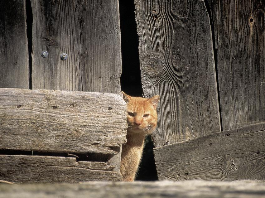 Cat in the countryside  (Servicios Editorials Georama)