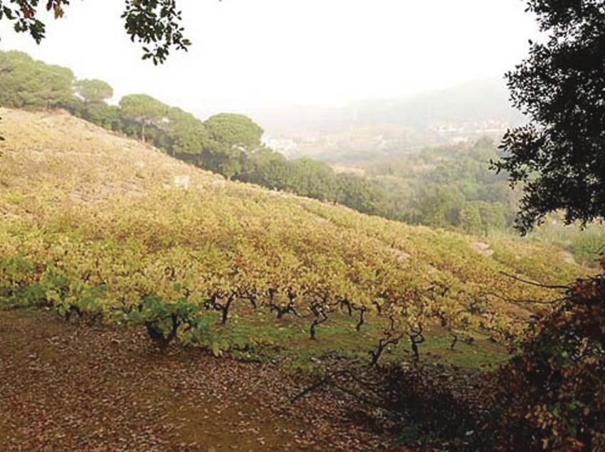 Camp de vinyes.   (Altrabanda)