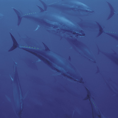 Nedar entre centenars de tonyines   (Tuna Tour (Grup Balfegó))