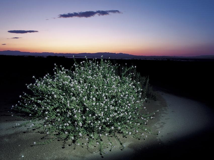 Planta de oruga marina (Cakile maritima) en el Parc Natural del Delta de l'Ebre  (Oriol Alamany)