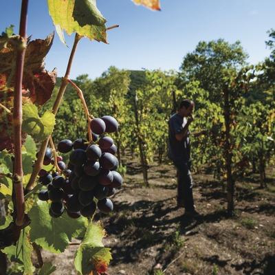 Heretat Mont-rubí, detall de raïm i enòleg tastant-lo entre vinyes.