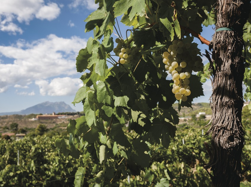 Ca l'Esteve, detalle de uva y viñedo con Montserrat de fondo.