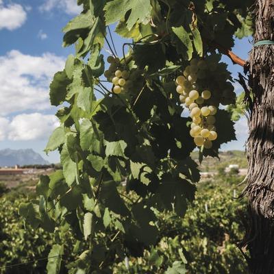 Ca l'Esteve, detall de raïm i vinya amb Montserrat de fons. (Marc Castellet)