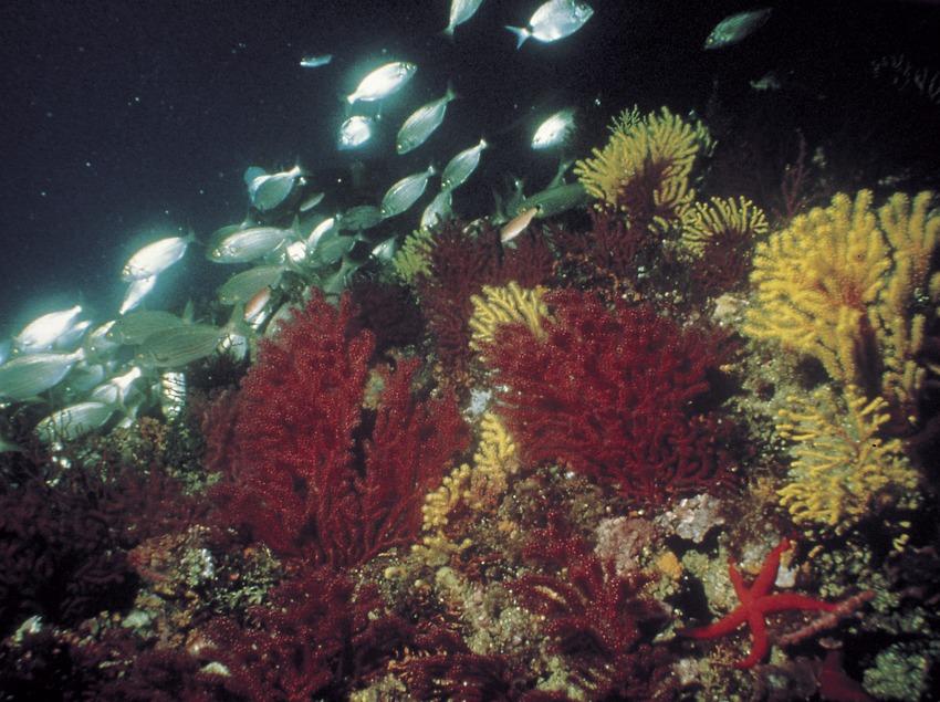 Banc de gorgònia (Paramuricea clavata) al fons coral·ligen de les illes Medes.