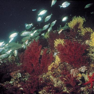 Banco de gorgonia roja (Paramuricea clavata) en el fondo de coral de las Illes Medes.