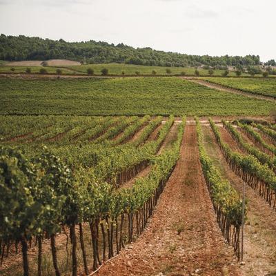 Bodegas 1898, paisaje de viñedos.