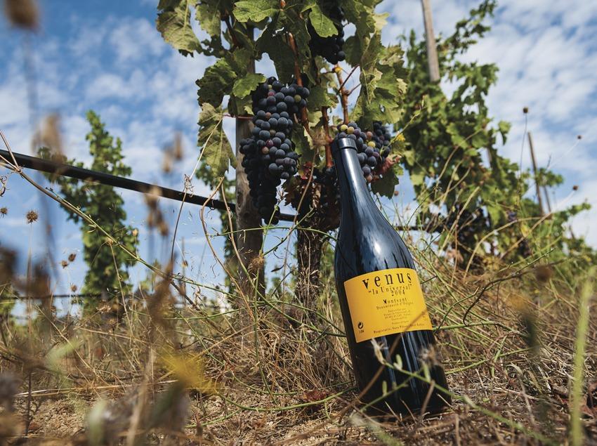 Venus La Universal, botellas dentro el viñedo.