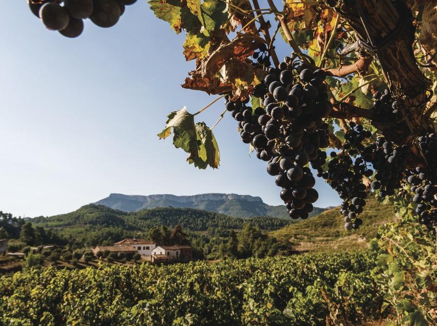 Cellers Sant Rafel, detalle de uva en los viñedos con la bodega y la montaña La Mola de fondo.