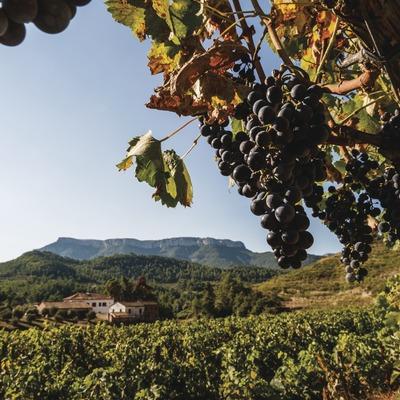 Cellers Sant Rafel, detall del raïm a les vinyes amb celler i la muntanya La Mola de fons.