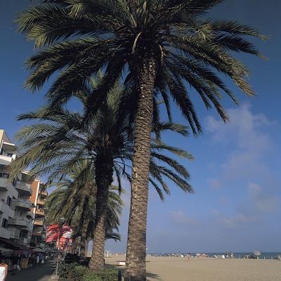 Palmeras del paseo de la Playa en Calafell.  (Rafael López-Monné)