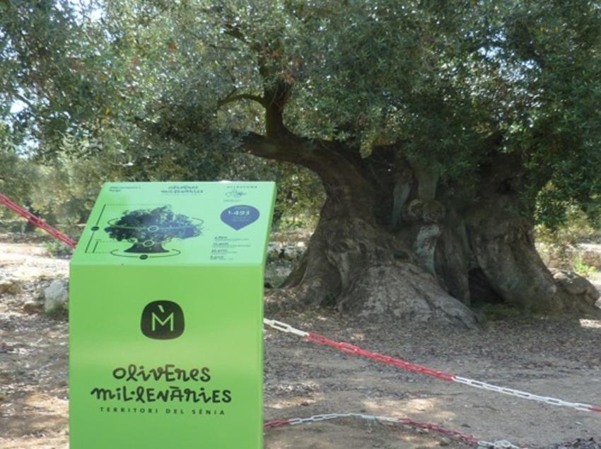 Oliveres mil·lenàries de l'Arión