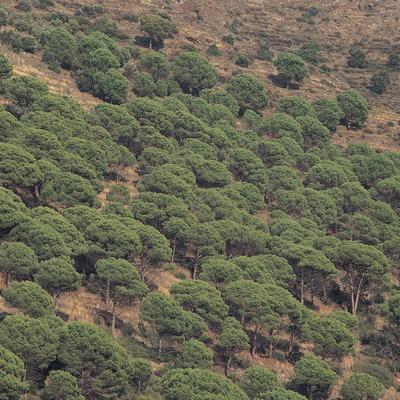 Pinar de pino piñonero en el Parc Natural del Cap de Creus  (Oriol Alamany)
