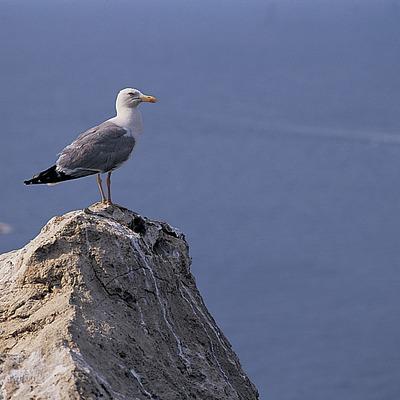 Gavina comuna (Larus Cachinnans) al Parc Natural del Cap de Creus  (Oriol Alamany)