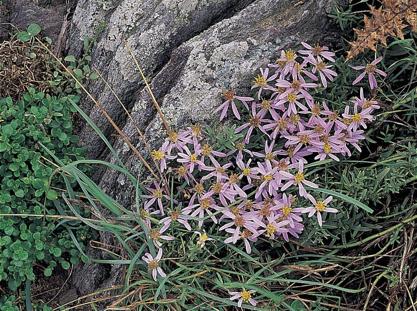 Flores de aster en el Parc Natural del Cap de Creus  (Oriol Alamany)