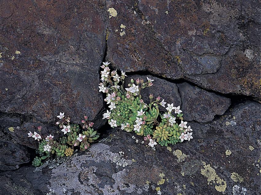 Vermicularia (Sedum album) al Parc Natural del Cap de Creus  (Oriol Alamany)