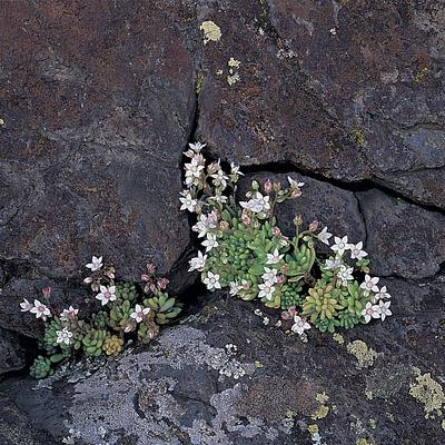 Uva de gato (Sedum album) en el Parc Natural del Cap de Creus  (Oriol Alamany)