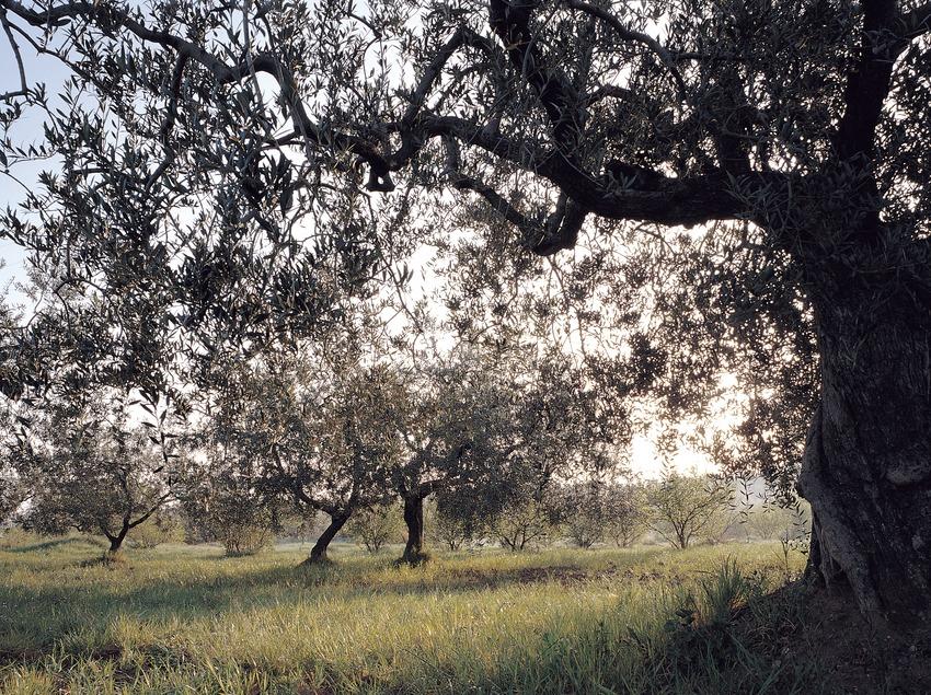 Camp d'oliveres.