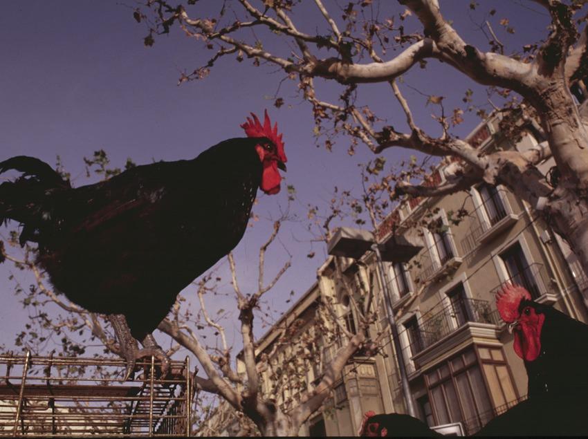 Feria del gallo   (Rosina Ramírez i Pere Pascual)