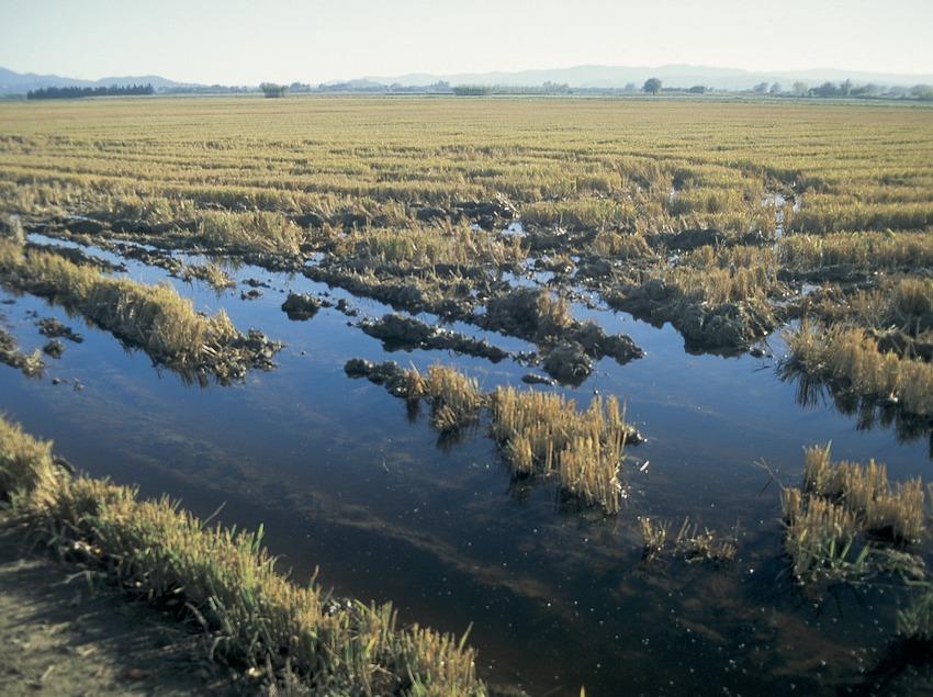 Reisfelder im Naturpark Aiguamolls de l'Empordà