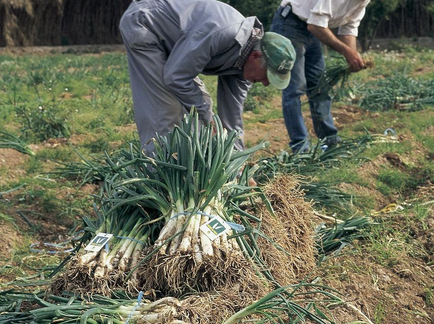 Calçot harvesting