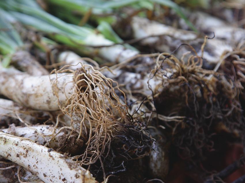 Calçot-Zwiebeln auf der Glut