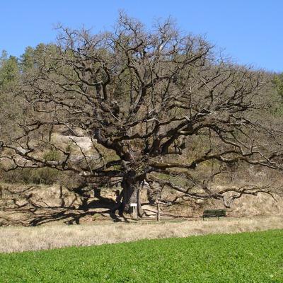 Sant Boi del Lluçanès. Roure de la senyora (Osona Turisme)