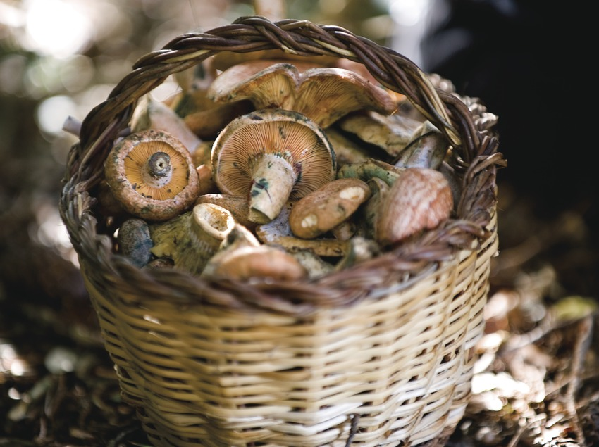 "Basket of Saffron milk caps in the 54th Competition of ""Boletaires"" (Mushroom Gatherers)"