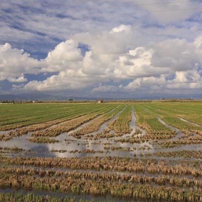 Arrossars segats al Delta. (Mariano Cebolla)