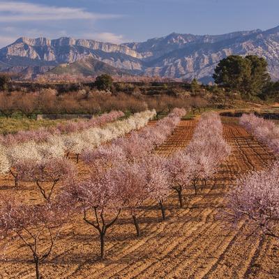 Conrreus de secà a la Terra Alta.