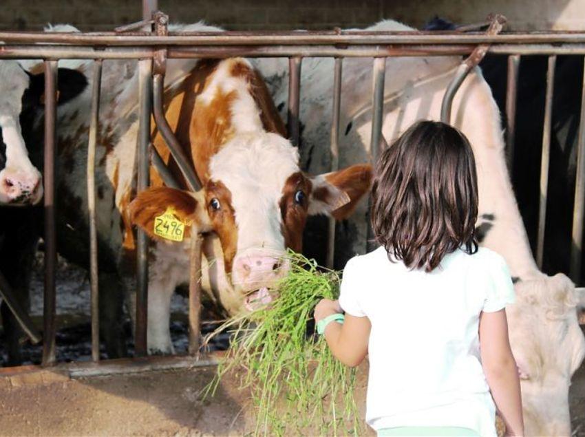 Fem Ruràlia. Niña dando de comer a una vaca.