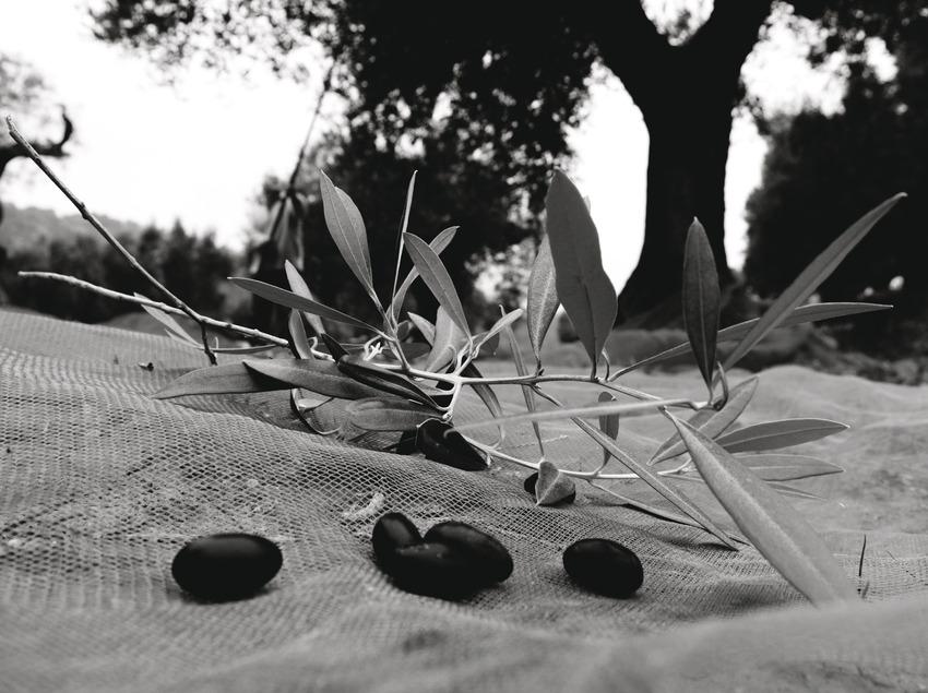 Identitat Extra Virgin Oil, recollint les olives.