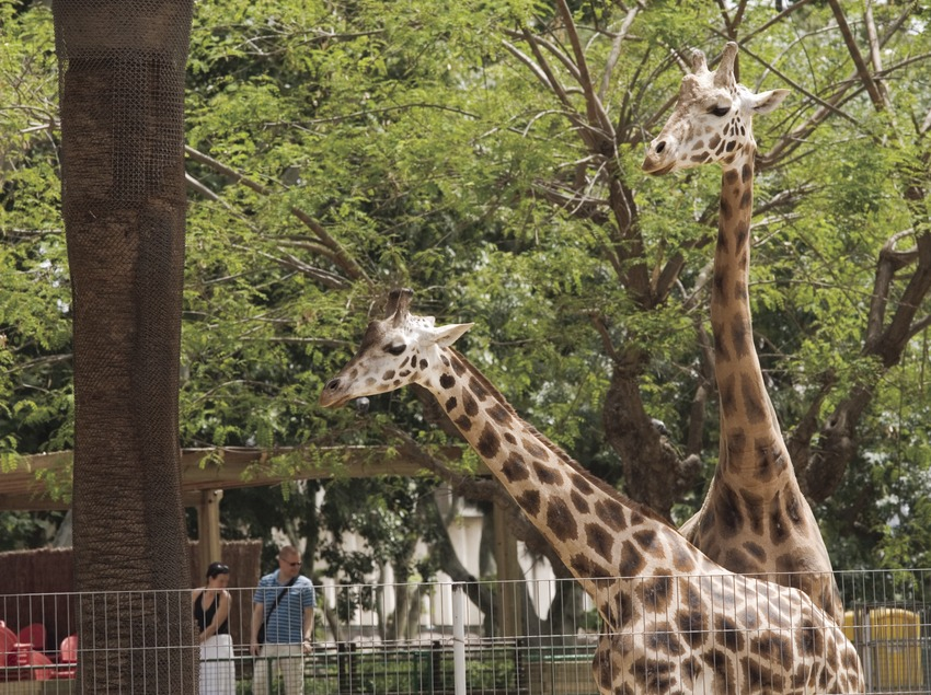 Jirafa en el parque zoológico.  (Nano Cañas)
