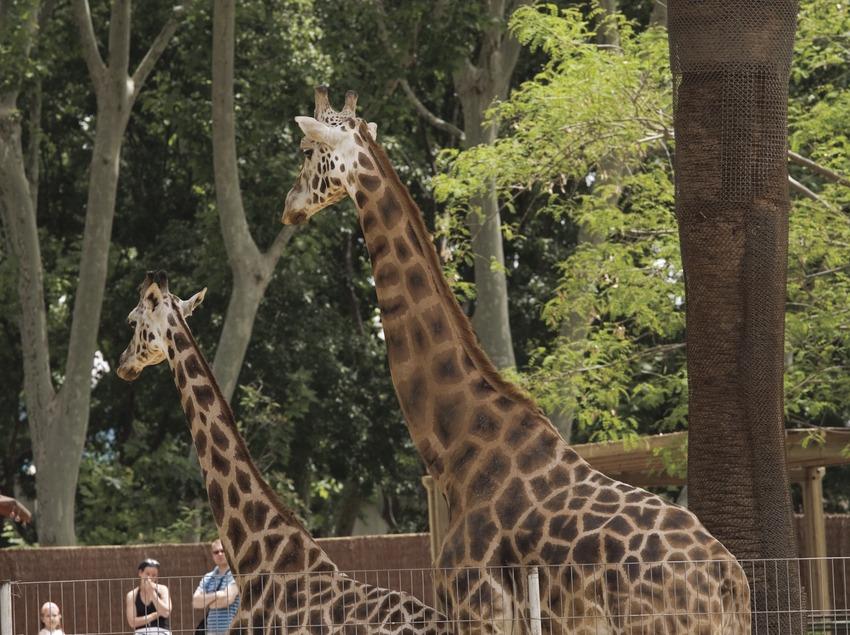 Girafa al Parc Zoològic.  (Nano Cañas)