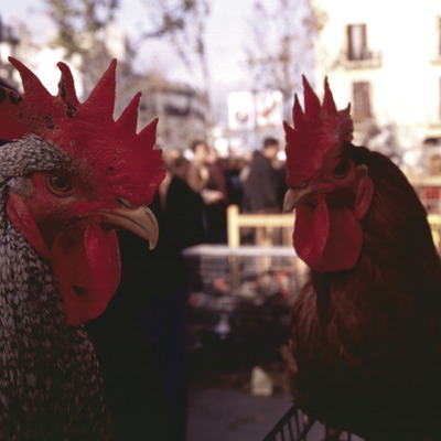 Feria del Gallo.  (Vilafranca del Penedès)