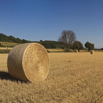 Camps de blat segats a Vulpellac