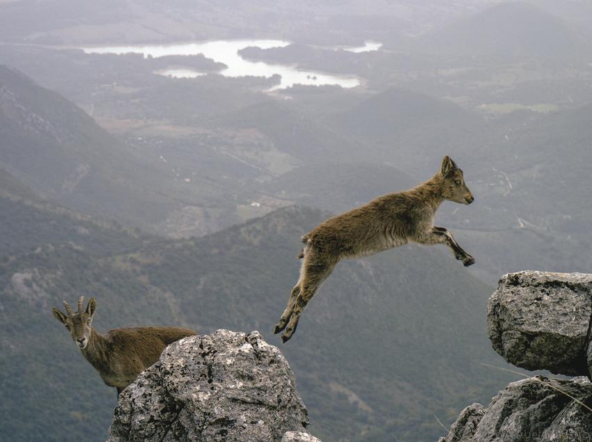 Isards en los Pirineos