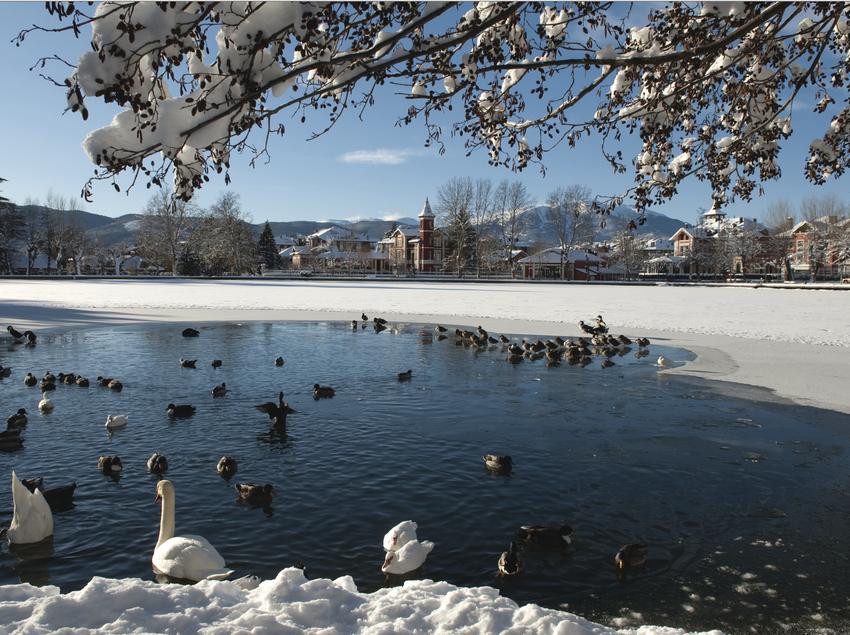 Patos y cisnes bañandose en el lago congelado de Puigcerdà
