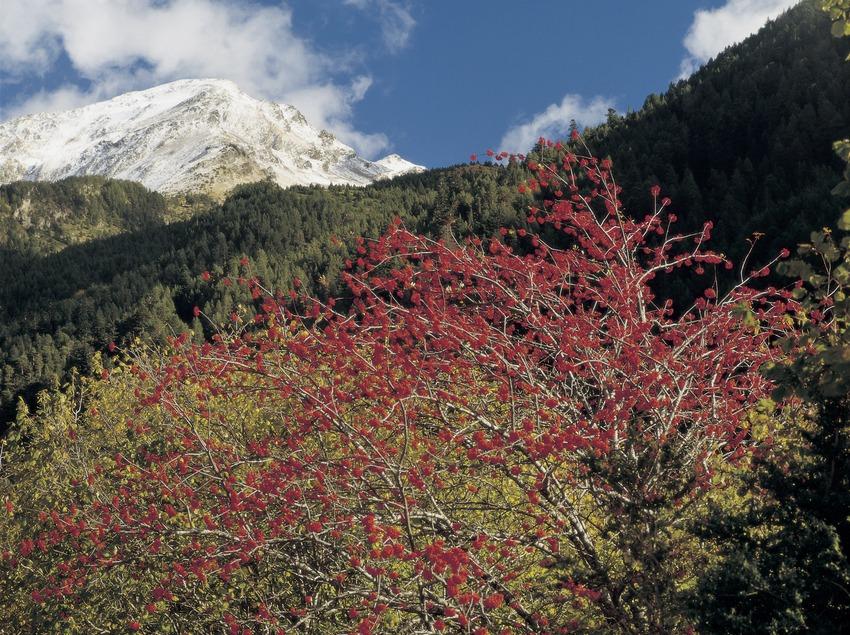 Arbustos a la vall de Sant Nicolau, al Parc Nacional d'Aigüestortes i Estany de Sant Maurici.