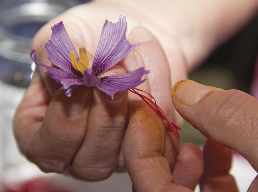 Flor de safrà