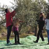 Cosechando aceitunas en el olivar.