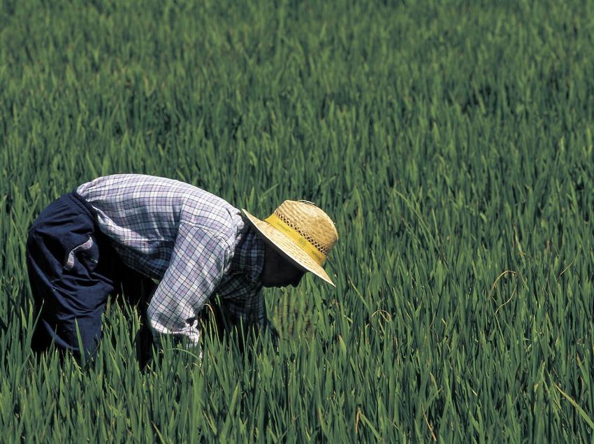 Recollida arròs al Parc Natural del Delta de l'Ebre. (Oriol Llauradó)