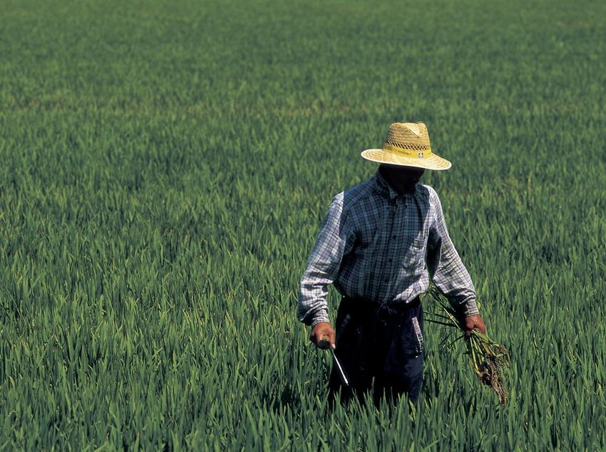 Сбор урожая риса в природном парке дельты Эбро (Oriol Llauradó)