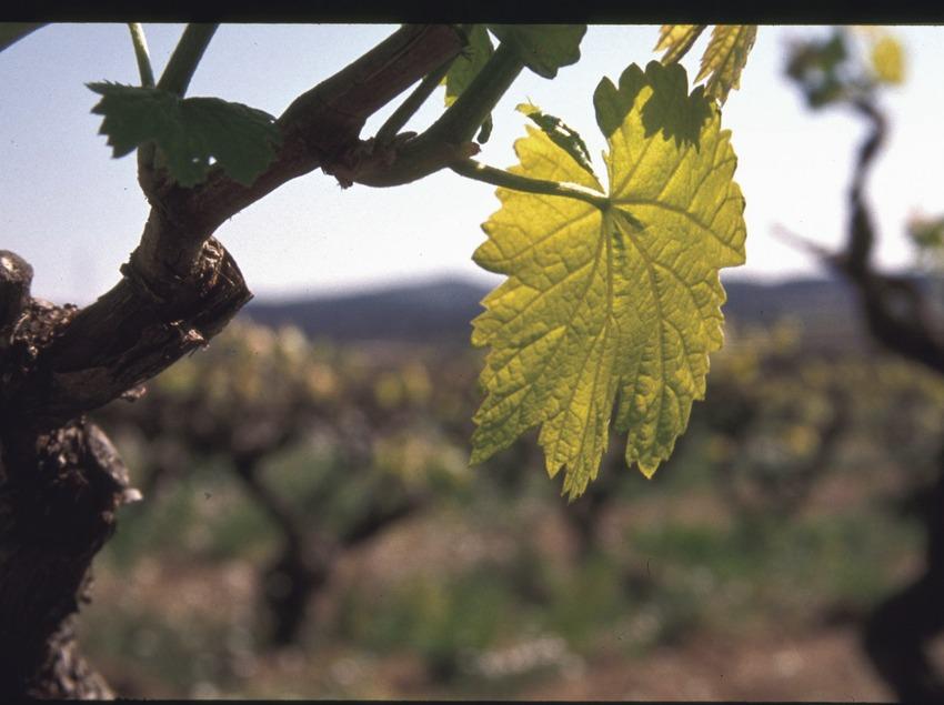 Weinblatt an einem Rebstock  (Consorci de Promoció Turística de l'Alt Penedès)