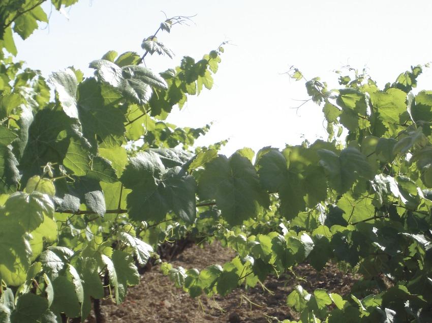 Cepas en un viñedo  (Consorci de Promoció Turística de l'Alt Penedès)